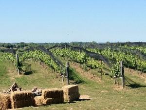 vineyard-300x225